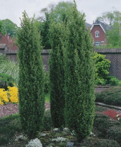 idegran buske