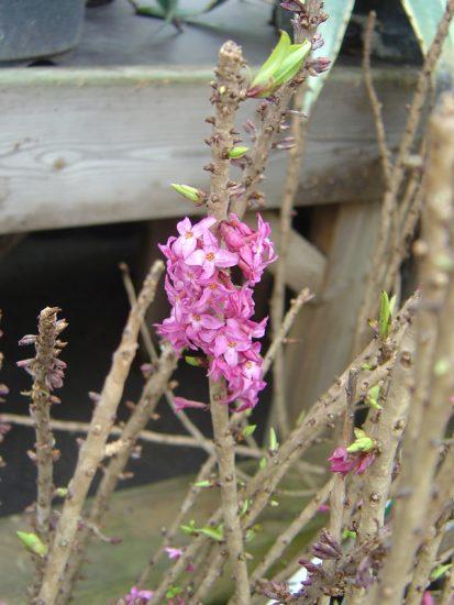 tibast blomma
